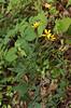 Coreopsis, Whorled (Coreopsis major)