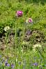 Thistle, Nodding (Carduus nutans)