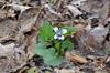 Violet, Confederate (Viola priceana)
