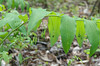 Solomon's Seal, Smooth (Polygonatum biflorum)