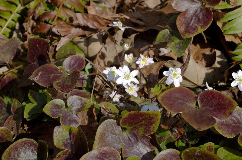 Hepatica, Sharp-lobed (Hepatica acutiloba)