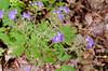 Phacelia, Purple (Phacelia bipinnatifida)