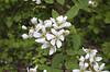 Blackberry, Southern (Rubus argustus)