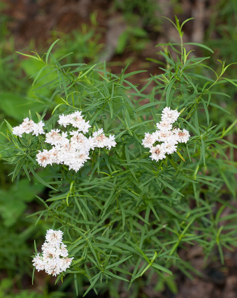 Mountain Mint, Narrowleaf<br />  (Pycnanthemum tenuifolium)