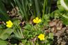 Buttercup, Hairy (Ranunculus sardous)