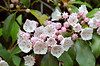 Mountain Laurel (Kalmia latifolia), pink