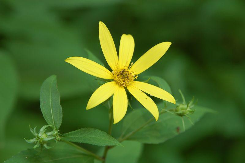 Sunflower, Stiff-Haired (Helianthus hirsutus)