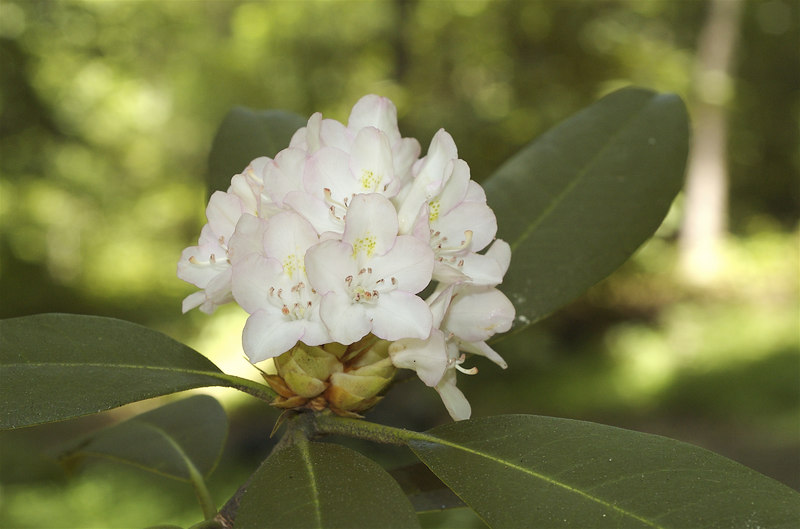 Rhododendron, Great (Rhododendron maximum)