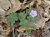 Wood Sorrel, Violet (Oxalis violacea)