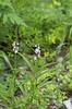 Vervain, Narrowleaf (Verbena simplex)
