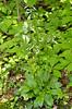 Lyre-leaf Sage (Salvia lyrata)