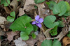 Violet, Common Blue (Viola sororia)