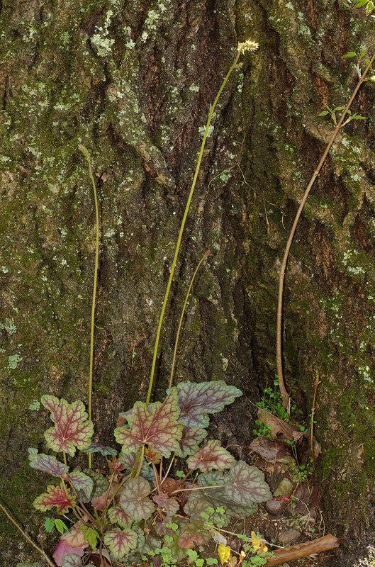 Alumroot, Common (Heuchera americana)