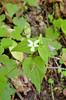 Violet, Canada (Viola canadensis)
