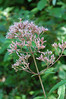 Joe-Pye Weed, Hollow (Eupatorium fistulosum)