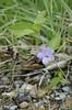 Wild Petunia, Pursh's (Ruellia purshiana)
