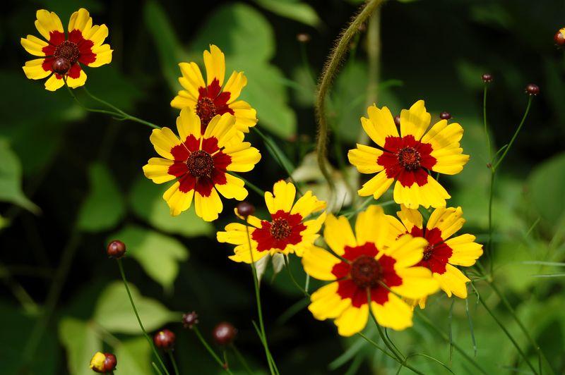 Coreopsis, Garden (Coreopsis tinctoria)