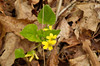 Violet, Yellow Woodland (Viola pubescens)