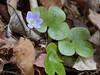 Hepatica, Round-lobed (Hepatica americana)