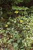Sunflower, Ozark (Helianthus, silphioides)