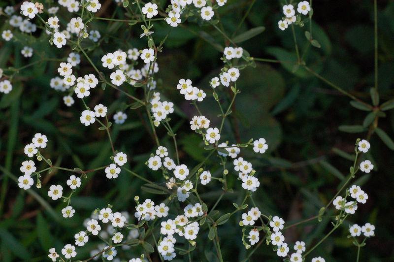 Spurge, Flowering (Euphorbia corollata)