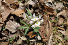 Toothwort, Cut-leaf (Dentaria laciniata)