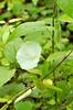 Hedge Blindweed (Calystegia sepium)