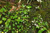 Saxifrage, Carey's (Saxifraga careyana)