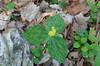 Trillium, Yellow (Trillium luteum)