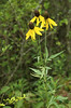 Coneflower, Gray-Headed (Ratibida pinnata)
