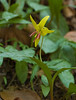 Trout Lily (Erythronium americanum) with red anthers