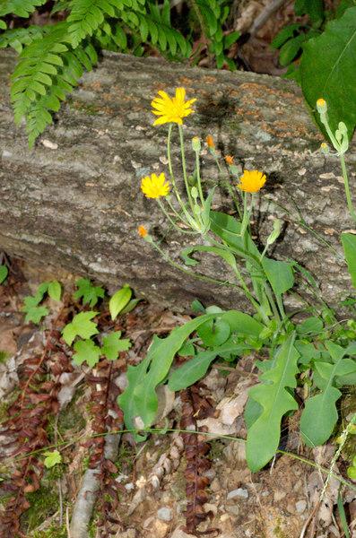 Two-flowered Cynthia (Krigia biflora)