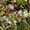 Heritage White Hyacinths--another variety of French-Roman heirloom flowers<br /> This is what Hyacinths looked like prior to being manipulated for the extra fluffy look.  An heirloom flower is one that has been allowed to reproduce naturally without interference from humans. They closely or exactly resemble their parent plant.  Not alot of change. It is important to preserve these original flowers for biodiversity. It is possible that without conservation certain flower and plant species could be lost and forgotten.<br /> Hyacinthus orientalis<br /> Liliaceae<br /> Hedgewood Gardens, Townsend, TN 2008
