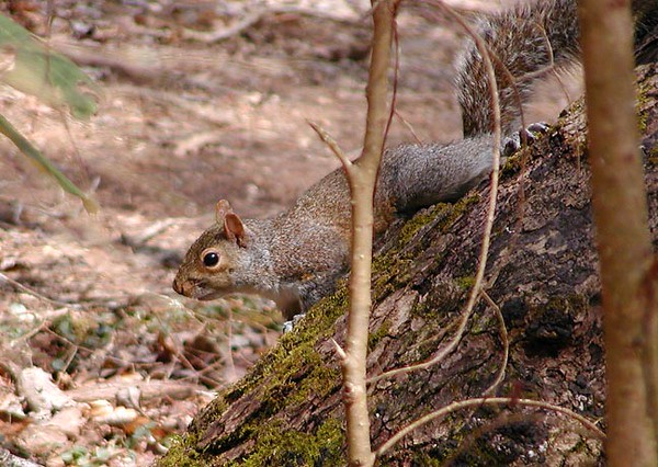 I had lots of squirrels for company today. They were courting and sparking.<br /> Secret Squirrel here was hustling acorns which were plentiful along the path.<br /> White Oak Sinks, Great Smoky Mountains National Park, TN 2008