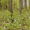 The slopes of Max Patch covered in large flowered trillium or T. Grandiflora.<br /> You can see they are shades of pink and white and some are wilting. The bloom time for these flowers is gone at lower elevations, but higher you can still see them just a little longer.