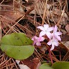 Trailing Arbutus likes dry woodland slopes such as along Chestnut Top Trail<br /> This specimen was especially pink.<br /> Epigaea repens<br /> Ericaceae  	<br /> GSMNP TN 2008
