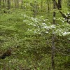 Dogwoods and sweet shrub were abundant in this area.<br /> They look pretty and smell good.<br /> GSMNP May 08