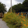 This old equipment shed is lined with orange cosmos. <br /> It is pretty, but in Winter when the flowers are gone it looks drab.
