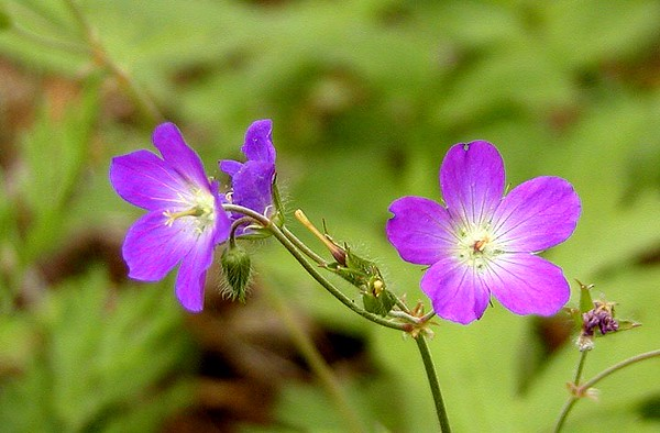 Wild Geraniums persist for some time past the passing of the rest of Spring wildflowers. These two neon looking hangers-on are at Max Patch. They can be seen in many areas of the Smokies.<br /> Geranium maculatum<br /> Geraniaceae<br /> May 08