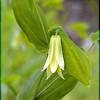 Perfoliate bellwort<br /> Uvularia perfoliata<br /> Liliaceae<br /> GSMNP May 08
