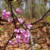 Close-up view of redbuds.<br /> Cercis canadensis<br /> Fabaceae<br /> Trotters Bluff Small Wild Area, Sevierville, TN 2008