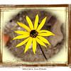 Western Sunflower<br /> Helianthus occidentalis<br /> Asteraceae<br /> Starr Mtn. TN 9/30/08