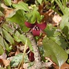 Red Wakerobin trillium or Stinking Benjamin--- smells like a wet dog!<br /> Trillium erectum<br /> Liliaceae<br /> Hedgewood Gardens, Townsend, TN 2008