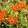 Butterfly weed growing in the meadow near the trail.<br /> Asclepias tuberosa<br /> Asclepiadaceae<br /> Tallassee, TN Aug. 2008