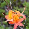 Flame azalea<br /> Rhododendron calendulaceum <br /> Ericacea<br /> GSMNP May 08