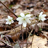<b>Sharp-lobed Hepatica growing in the rocks of White Oak Sinks.<BR> Hepatica acutiloba<BR> Ranunculaceae White Oak Sinks, GSMNP, TN 2008
