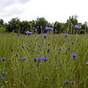 Tall grass and bachelors buttons. Looking out over a farm field in Blount County.<br /> I love tall grass meadows of flowers!