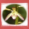 Macro of one of the florets of an Adam and Eve orchid.<br /> Aplectrum hyemale<br /> Orchidaceae<br /> May 08
