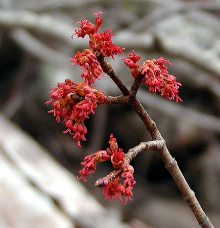 Red Maple Blooms along Chestnut Top Trail<br /> Bears love to eat these in Spring.<br /> Acer rubrum<br /> Aceraceae<br /> Plenty of evidence of bears along the trail today.<br /> GSMNP TN 2008