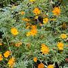 Orange Cosmos<br /> Cosmos sulphureus<br /> Asteraceae<br /> Starr Mtn, TN 9/30/08